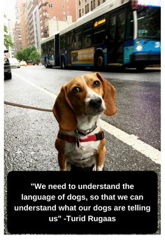 Are you interested in a Beagle? Well, the Beagle is one of the few popular dogs that will adapt much faster to any home. Art Beagle, Beagle Dog, Pet Dogs, Training Your Puppy, Dog Training Tips, Pocket Beagle, Dog Books, Dog Crate, Dog Quotes