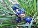 Mai men dong - Le mai men dong (Ophiopogon japonicus) est une plante médicinale impliquée dans la pharmacopée ancestrale chinoise (MTC) il est un remède des toux et des fièvres, il est d'une grande efficacité contre l'insomnie. Le muguet du Japon (mai men dong) soigne la constipation et calme les cr... http://www.complements-alimentaires.co/wp-content/uploads/2015/12/mai_men_dong_Ophiopogon_japonicus.jpg - Par Nathalie sur Compléments alimentaires  #Lesplan