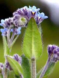 Peltolemmikki, Myosotis arvensis Forget Me Not, Zinnias, Amazing Flowers, Herb Garden, Amazing Nature, Wildflowers, Finland, Blossoms, Weed