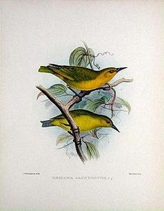 Greater Amakihi	(Viridonia sagittirostris) Extinct