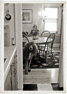 That poodle cracks me up!