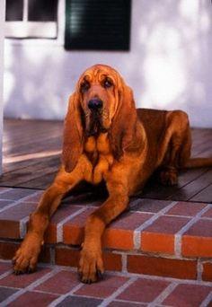 bloodhound photo | Bloodhound fotoğraflarına bakın.