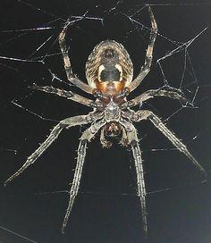 Larinioides sericatus