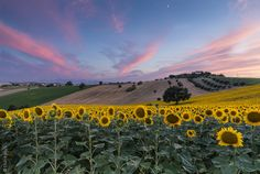 Photo Sunflowers waves under the moon by thkplus on 500px