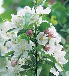 Malus sargentii 'Lancelot'-recommended for midwest
