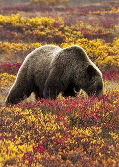 Grizzly bear search for blueberries in Denali National Park, Alaska, U.S   by Jacob W. Frank / Denali National Park and Preserve
