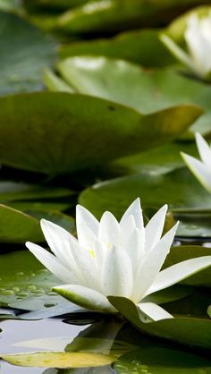 https://flic.kr/p/nQTV78 | water_lilies_white_pond_leaves_water_61304_640x1136