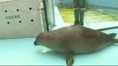 VIDEO. Un phoque percuté par un bateau a été soigné et remis à l'eau