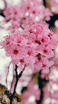 Sakura Wallpaper, Simple Iphone Wallpaper, Spring Wallpaper, Flower Background Wallpaper, Flower Backgrounds, Wallpaper Backgrounds, Wallpapers, Sakura Cherry Blossom, Cherry Blossom Flowers