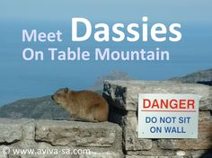 Dassies (rock rabbit, the closest living relative to an African elephant) on Table Mountain - Cape Town