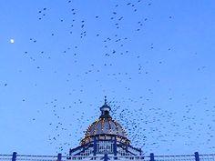 Murmuration of starlings, Eastbourne Pier