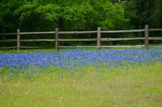 Bluebonnets at our friends' ranch
