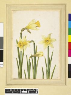 ⭐️Jacques Le Moyne, daffodil. c. 1585. With thanks to the British Museum.