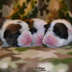 ❤ 3 wee pink noses ❤ Posted by Bulldog Lovers Bulldog Puppies, Cute Puppies, Dogs And Puppies, Dog Varieties, Real Dog, Pet Dogs, Doggies, Old English Bulldog, Warm Fuzzies