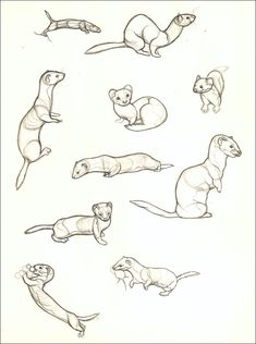 Drawing Animals Tips I've been practicing drawing weasels a lot lately because it occurred to me one day that I haven't a clue how their anatomy works. And now I can draw weasels better. Animal Sketches, Animal Drawings, Drawing Sketches, Drawing Animals, Drawing Studies, Art Studies, Art Reference Poses, Drawing Reference, Poses References