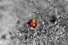 Butterfly Photography Wall Art Color Splash Black by Dreamscenery