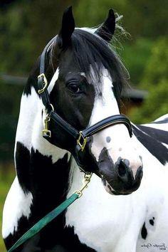 Silver Sams Apache Chief Paint Stallion