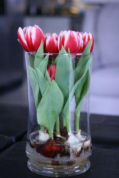 Frühlingsdeko im Glas -ideen-vase-weisse-tulpen-knollen-wasser