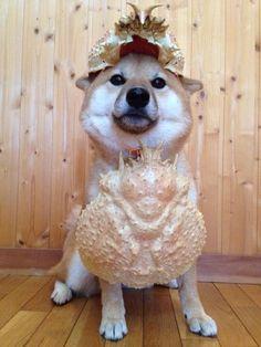 この柴犬はカニの甲羅を装備させられたことによって本人も強くなった気がしてそうな顔してて好きです