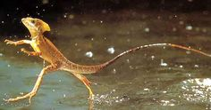 animals running | The Jesus Lizard running on water | Animal Pictures and Facts ...