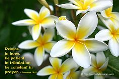 Rejoice in hope, be patient in tribulation, be constant in prayer. ~ Romans 12:12  Flower: White (with yellow) Plumeria