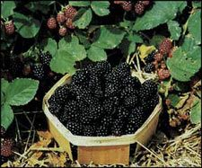 Growing berry shrubs. I miss my blueberry and raspberry plants. :(