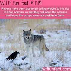 Why ravens are one of the smartest animals - WTF fun facts