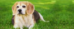 Cook, discusses symptoms and treatment options for dogs with Cushing's Disease. Symptoms of Cushing's disease in dogs includes: pot belly, hair loss, Sugar Store, Cushing Disease, Essential Oils Dogs, Oils For Dogs, Sick Dog, Veterinary Medicine, News Finance, Financial News