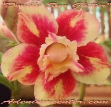 "Desert Rose Triple | ADENIUM OBESUM DESERT ROSE "" TRIPLE LUCIOUS KISSES "" 1 GRAFTED PLANT ..."