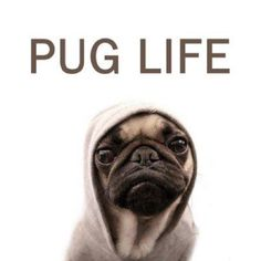 All of my friends want hedgehogs. Me? I want something that's not going to poke me everytime I touch it. My solution- a pug. <3