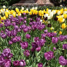Tulipa in New York
