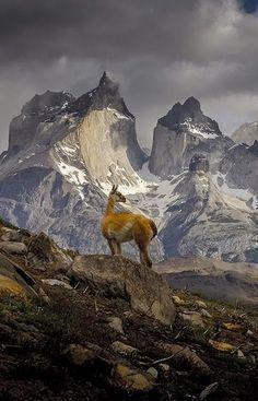 Guanaco (lama) v ohromujúcom národnom parku Torres del Paine na juhu Čile Beautiful World, Beautiful Places, Landscape Photography, Nature Photography, Photography Editing, Street Photography, Photography Ideas, Artistic Photography, Photography Business