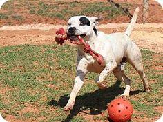 Edmond, OK - American Bulldog/American Pit Bull Terrier Mix. Meet RINGO, a dog for adoption. http://www.adoptapet.com/pet/11474088-edmond-oklahoma-american-bulldog-mix