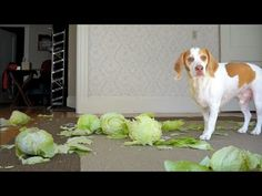 Dog Surprised by Cabbages: Funny Dog Maymo - YouTube