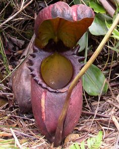 Rat-Eating Pitcher Plant (Nepenthes attenboroughii) This is probably the most strange, yet most amazing plant in the world. Believed to be the largest meat eating planting the world, it is capable of digesting rats. Weird Plants, Unusual Plants, Rare Plants, Exotic Plants, Cool Plants, Strange Flowers, Unusual Flowers, Wonderful Flowers, Rare Flowers
