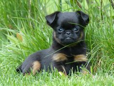 Pug and Brussels Griffon