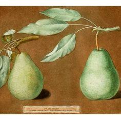 Pears, Brookshaw, Pomona Britannica, Folio, London, Pair, Antique Prints, 1804-12 Antique Collectors, Royal Garden, Variety Of Fruits, Stippling, Pocket Doors, Wood Bridge, Antique Prints, Spring Garden, Pears