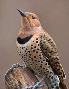 A female Yellow-shafted Northern Flicker woodpecker. The underside of the end tailfeathers, from the torso down to the end, in these birds, is red or yellow. It is an easier way to tell these two types of Northern Flickers. Kinds Of Birds, All Birds, Love Birds, Pretty Birds, Beautiful Birds, Animals Beautiful, Great Backyard Bird Count, Backyard Birds, Exotic Birds
