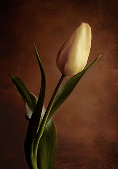 Flower photography tulip photograph wall by IonAnthosPhotography, $28.00