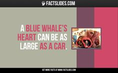 A blue whale's heart can be as large as a car.