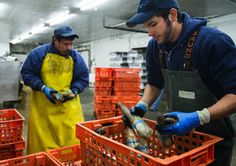 Geoduck harvesters see money slipping through their fingers | Business & Technology | The Seattle Times