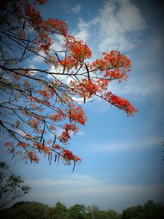 Flamboyant / céu