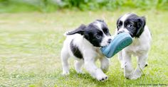 Experts agree it's a bad idea to bring home a pair of dogs from the same litter; there are steps you can take to help them grow into well-socialized adult dogs. http://healthypets.mercola.com/sites/healthypets/archive/2015/12/28/littermate-syndrome.aspx