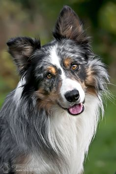 Blue Merle Border Collie - Look to see if your favorite pup with be featured as. - Dogs With Brian Perros Border Collie, Border Collie Blue Merle, Beautiful Dogs, Animals Beautiful, Cute Animals, Cute Dogs And Puppies, I Love Dogs, Aussie Puppies, Corgi Puppies