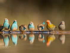 MULTIPLE - Multiple species of birds, including Pytilia and Blue Waxbills…