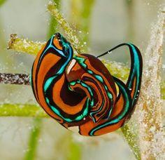 unusual nudibranch
