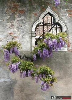 Blooming Window - Siena, Italy