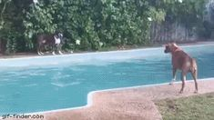 Dog pretends to drop toy in pool so other dog jumps in | Gif Finder – Find and Share funny animated gifs