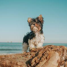 Biewerterrier Terrier, Lifestyle, Dogs, Pet Dogs, Doggies, Terriers