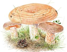 Vielä ehdit metsään: Näin löydät sienet Closer To Nature, Fungi, Picture Video, Mushrooms